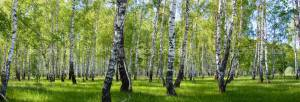 Фотообои Summer birch forest landscape