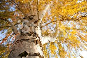 Фотообои Looking Up a Weeping Birch Tree in Autumn 28230030