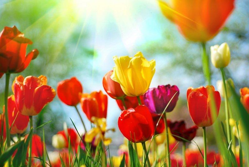 Фотообои «Тюльпаны» — Интернет ...: zakazposterov.ru/магазин-фоÑ...