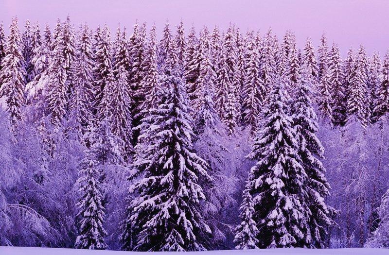 фиолетовая зима фото