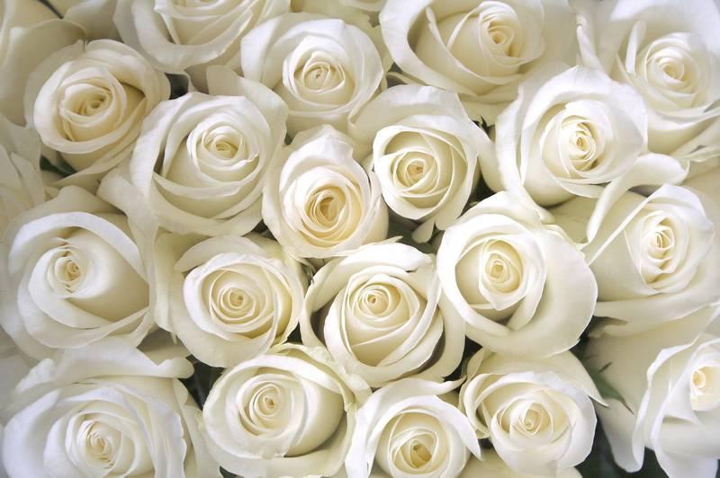 Фотообои белые розы