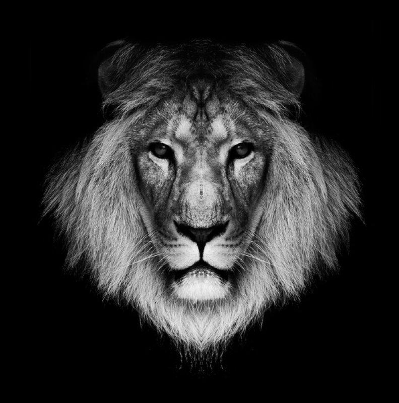 картинка лев черно-белая