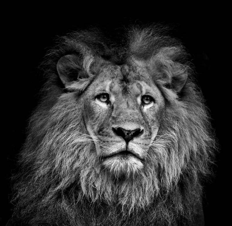 чёрный и белый лев картинк