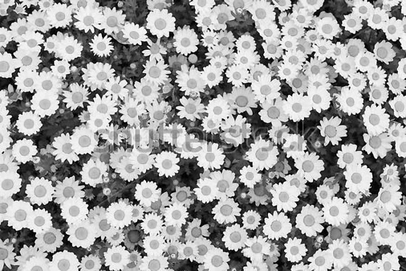 белая ромашка картинки черно
