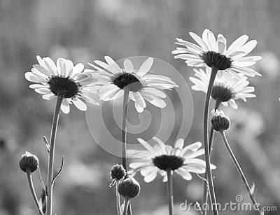 Ромашки черно белые картинки